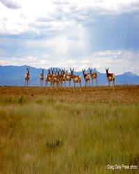 Antelope on the alert
