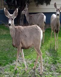 3 Deer pretending to be Lawn Ornaments