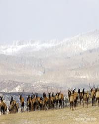 Elk Herd Heading Towards the Mountains