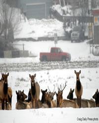 Herd of Elk looking towards photographer