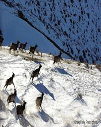 Elk Herd on the move